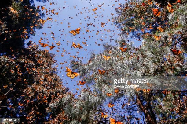 Papillons monarques en hivernage de novembre à mars dans des forêts de pins oyamel , Reserva de la Biosfera Mariposa Monarca El Rosario, Angangueo,...