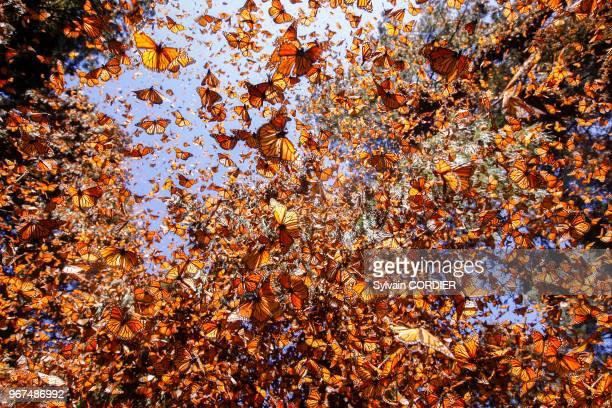 Papillons monarques en hivernage de novembre à mars, Reserva de la Biosfera Mariposa Monarca El Rosario, Angangueo, état de Michoacan, Mexique.