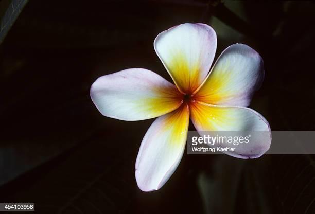 Papua New Guinea Bismarck Archipeligo Long Island Frangipani Blossom