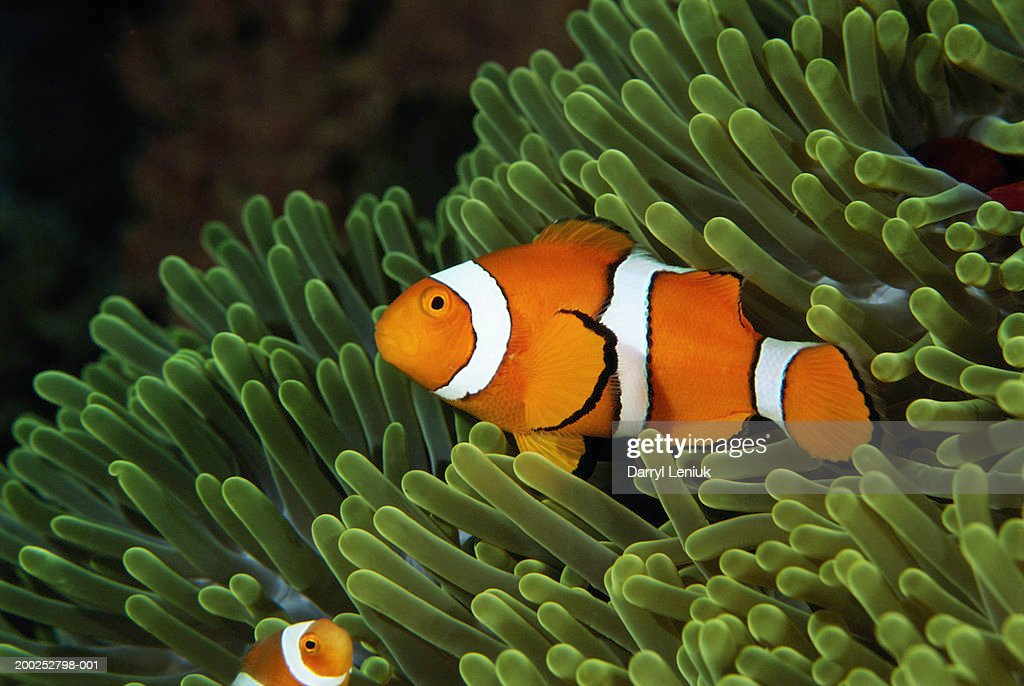 Papua New Guinea, false clown anemonefish and sea anemone, underwater view : Stock Photo
