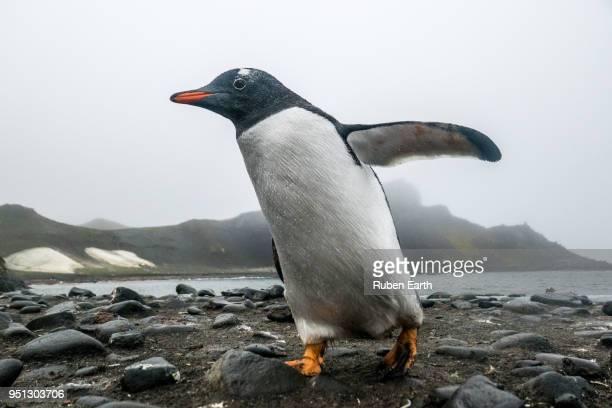 Papua Penguin close up in Antarctica