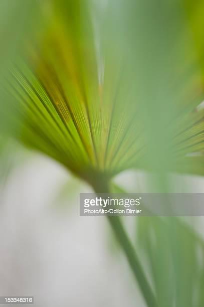 Papyrus frond, close-up