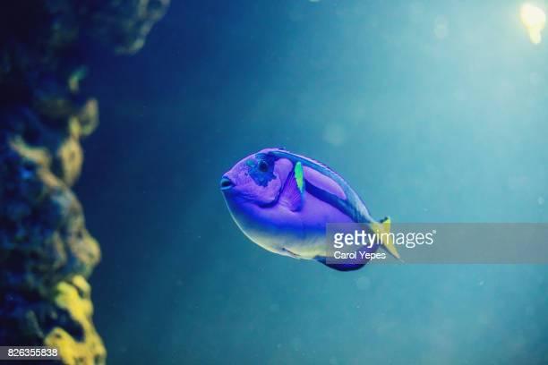 paracanthurus hepatus - vida marítima fotografías e imágenes de stock