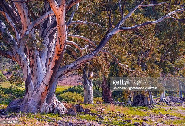 parachilna gorge, flinders ranges national park, south australia. - eucalyptus tree stock pictures, royalty-free photos & images