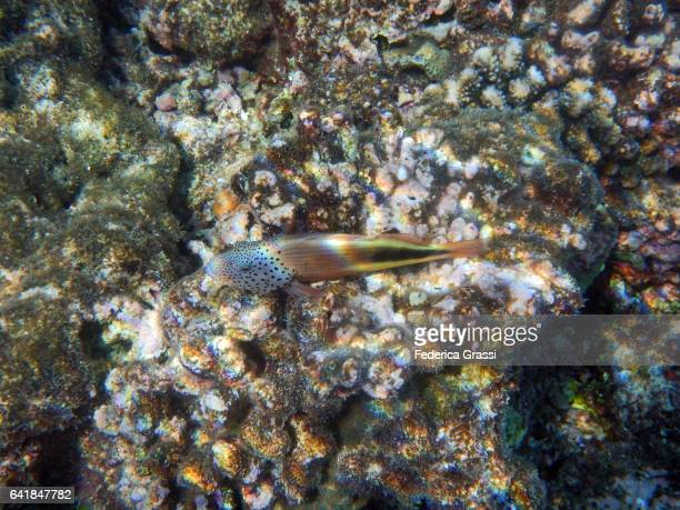 paracirrhites forsteri (blackside hawkfish) - hawkfish stock pictures, royalty-free photos & images