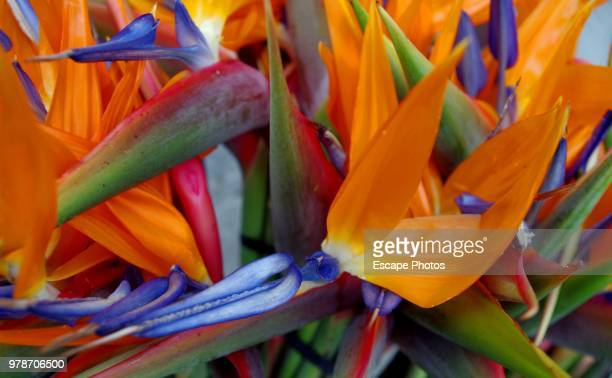 Paradiesvogelblume Strelitzia reginae on Canary Islands