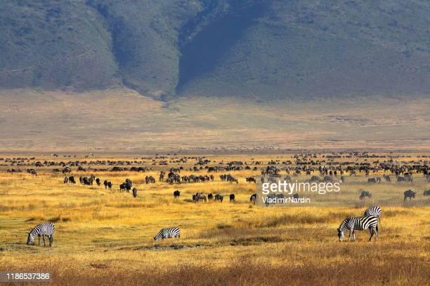 paradise of ngorongoro crater - ngorongoro conservation area stock pictures, royalty-free photos & images