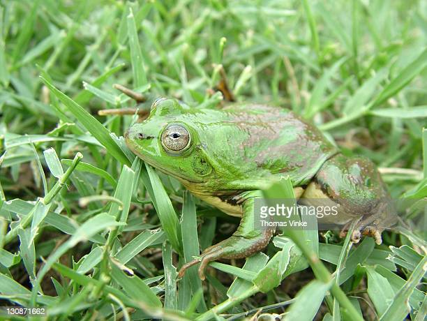 paradoxical frog (pseudis paradoxus) gran chaco, paraguay - verruca plantare foto e immagini stock