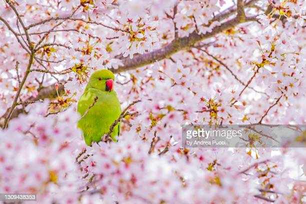 parakeet and spring, london, united kingdom - perching stock pictures, royalty-free photos & images