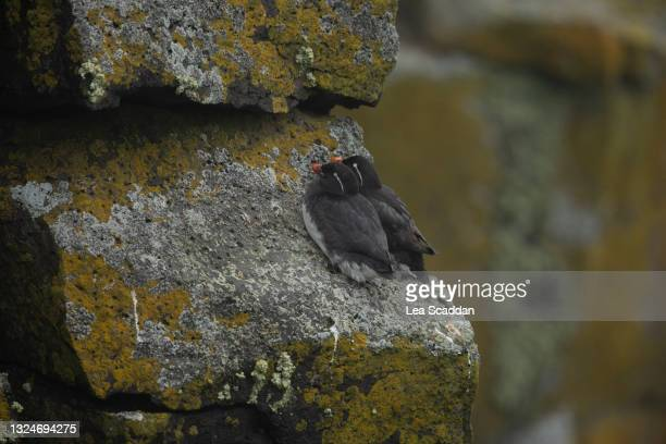 parakeet auklets - cliff dwelling stock pictures, royalty-free photos & images