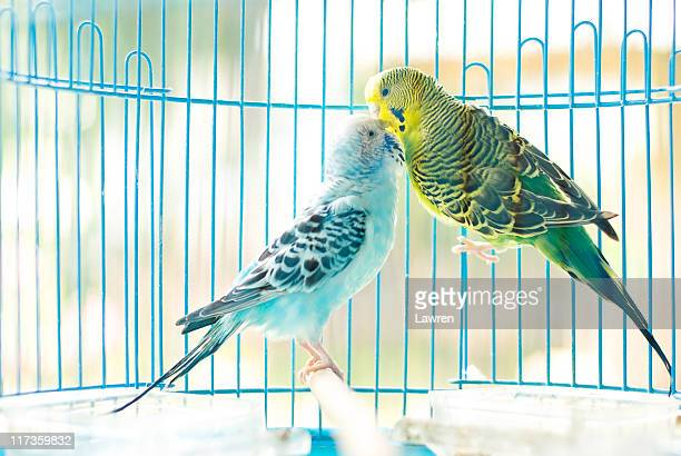 Parakeet couple kiss each other