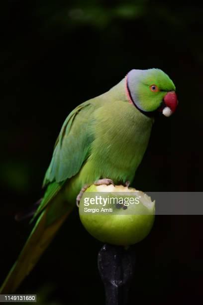 Parakeet eating an apple