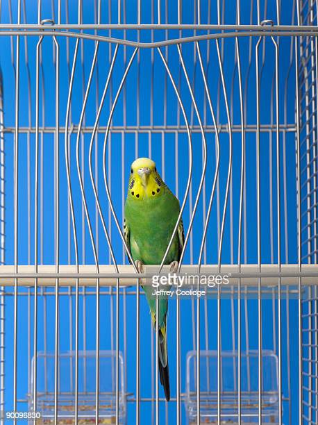 Parakeet in cage with bent bars