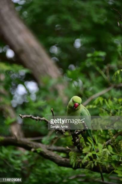 parakeet on a tree branch - ワカケホンセイインコ ストックフォトと画像