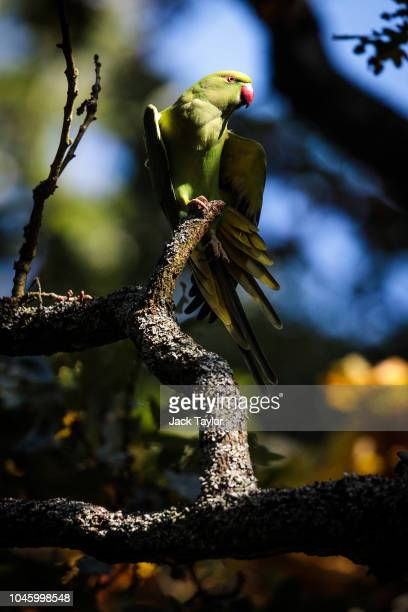 A parakeet perches on the branch of a tree in Richmond Park on October 5 2018 in London England The months of Autumn are rutting season for deer...