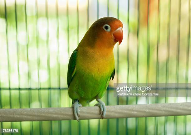 parakeet - domestic animals stock pictures, royalty-free photos & images