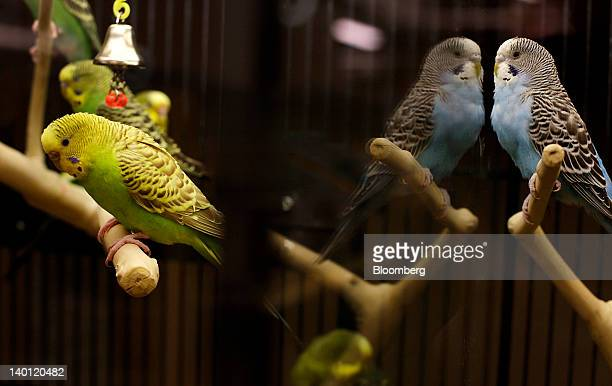 Parakeets displayed for sale sit on perches inside a cage at a PetSmart Inc store in New York US on Monday Feb 27 2012 PetSmart Inc is scheduled to...
