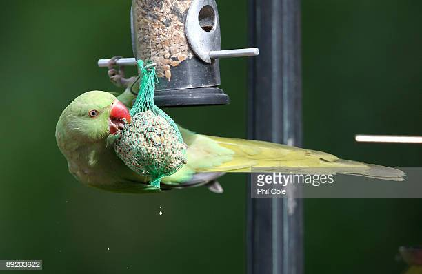 Parakeets feed from a bird feeder in a domestic back garden in Charshalton Beeches on July 23, 2009 in London, England. Around 90% of the UK's...