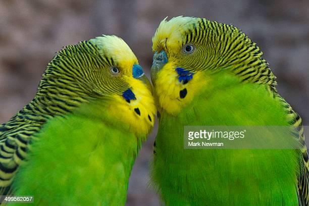 Parakeets kissing, , budgerigars, companionship