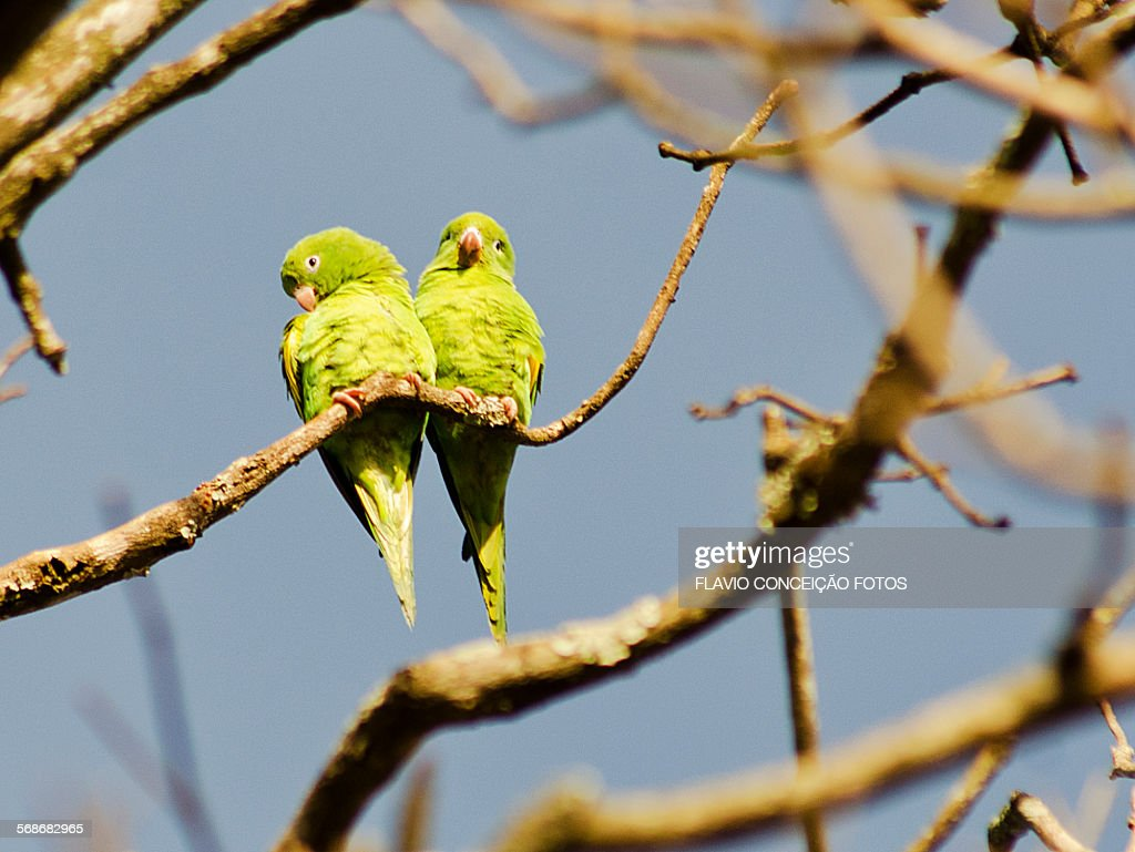 Parakeets parrots birds brazil : Stock Photo
