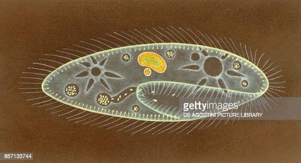 Paramecia with organelles drawing