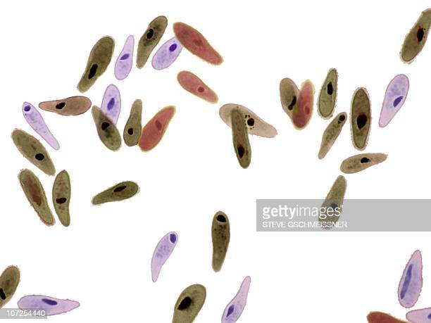 Paramecium protozoa, light micrograph