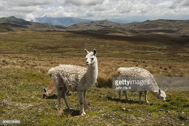 paramo grassland landscape with llamas - lama photos et images de collection