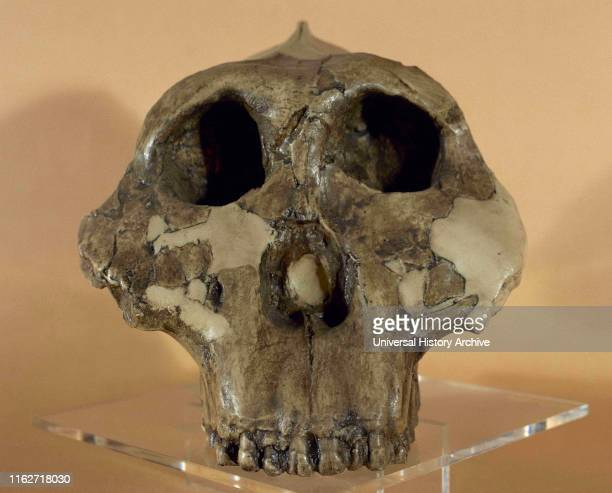 Paranthropus boisei or Australopithecus boisei. It was an early hominin, described as the largest of the genus Paranthropus . Eastern Africa,...