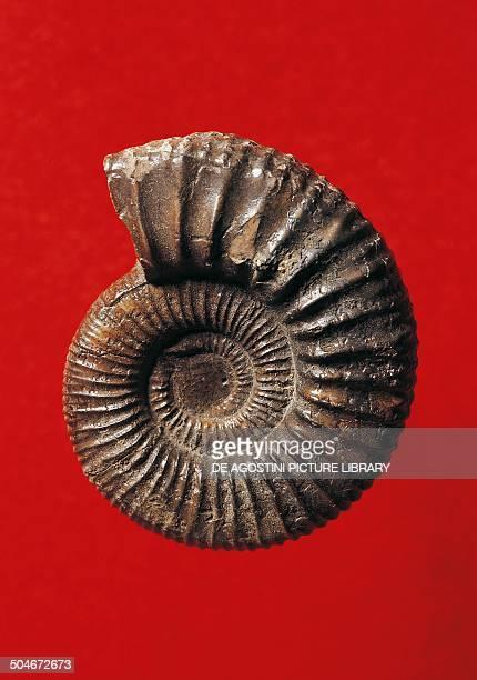 Parapeltoceras annulare ammonite fossil Cephalopoda Middle Jurassic Germany Milan Museo Civico Di Storia Naturale