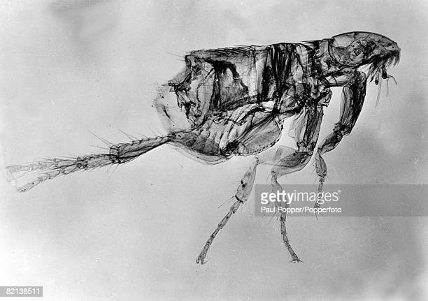 1954 The common dog flea magnified many times through a new xray microscope developed at the General Electric Laboratory in Milwaukee USA
