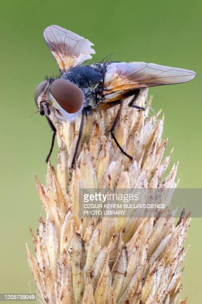 parasitic tachinid fly - parasite stock pictures, royalty-free photos & images