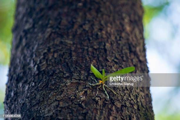 parasitic tree, small tree growing on the trunk of a forest tree, - parasite stock photos and pictures