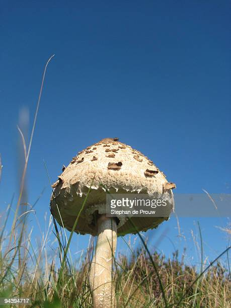 parasol mushroom and the blue skies - stephan de prouw stock pictures, royalty-free photos & images