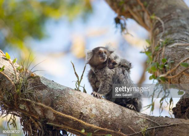 A common marmoset mother and two offspring, Callithrix jacchus, rest in a tree.