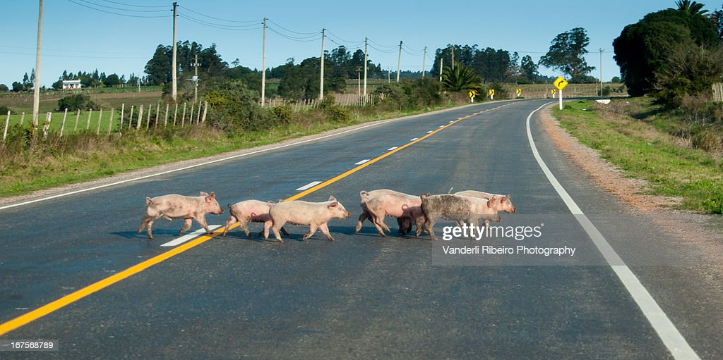 Pare, leitão na pista! : Stock Photo