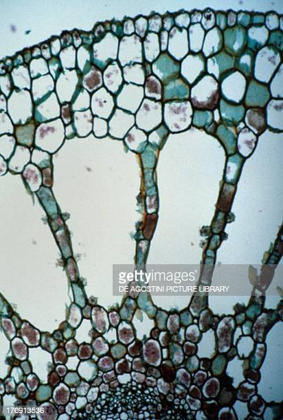 Parenchyma from Myriophyllum genus of aquatic plants of the Saxifragales order