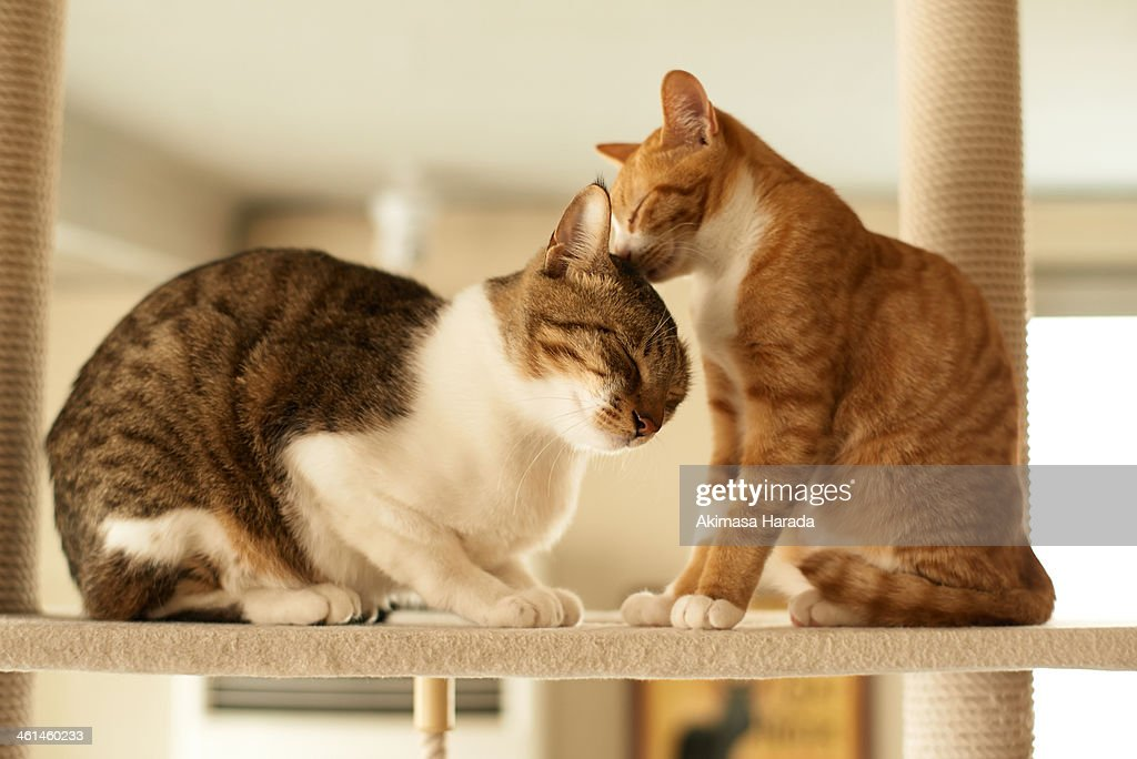Domestic tabby and ginger cats are relaxing on the cat tower.