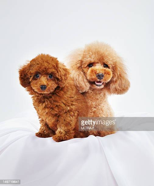 parent and child of miniature poodle - miniature poodle stock photos and pictures