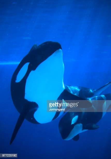 parent and child - killer whale stock pictures, royalty-free photos & images