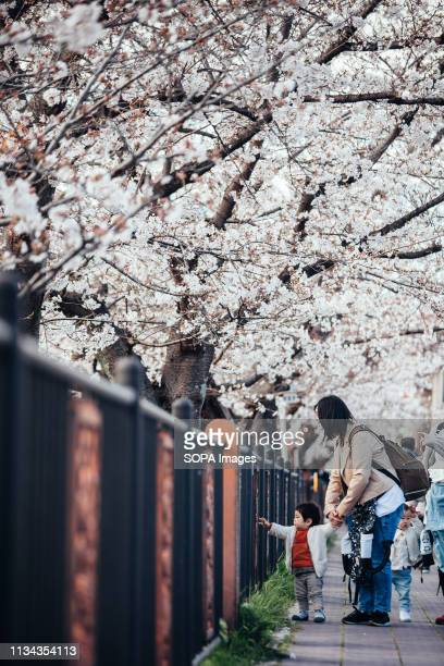 A parent and child seen enjoying cherry blossom views at yamazaki river nagoya Aichi prefecture Japan The Cherry blossom also known as Sakura in...