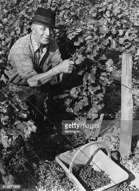 By hand a worker clips a bunch of grapes from the vine in a vineyard in the Bourgogne region of France The growing use of mechanized equipment to...