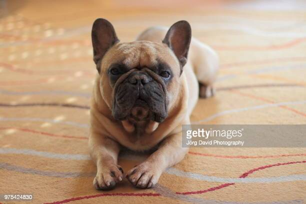 paris,france - bulldog frances imagens e fotografias de stock
