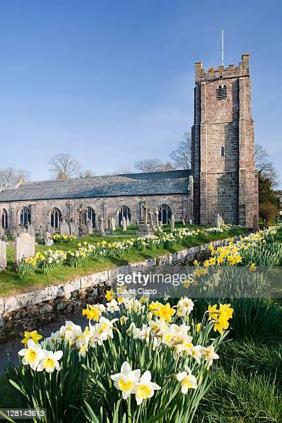 Parish Curch of St Michael the Archangel in spring time, with rows of daffofils leading to the entrance, Chagford, Dartmoor, Devon, England, UK