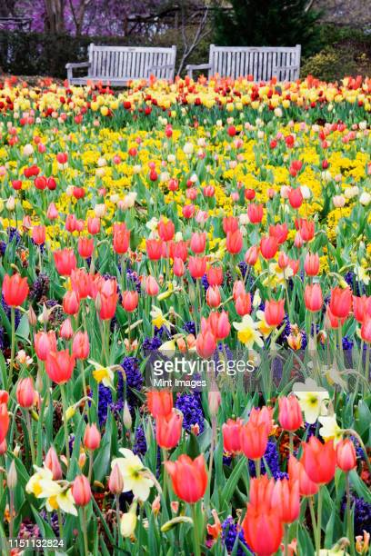 park benches and spring flowers - tulips and daffodils stock pictures, royalty-free photos & images