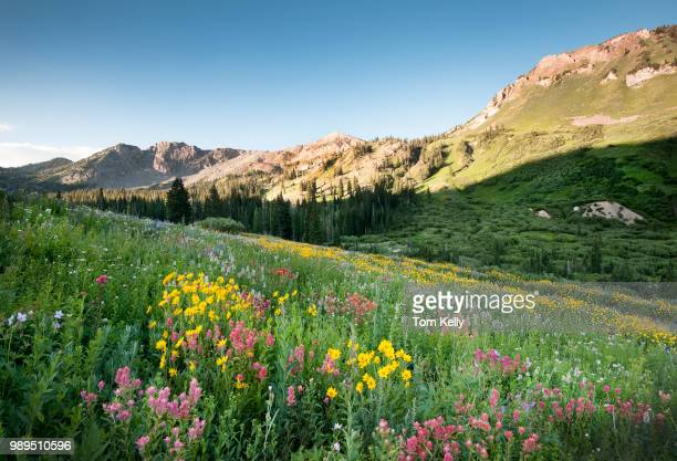 park city,usa - wild flowers stock pictures, royalty-free photos & images