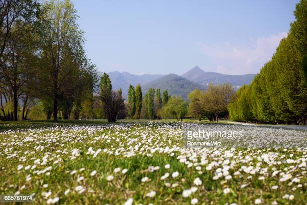 Park in springtime with daisies and mountain view
