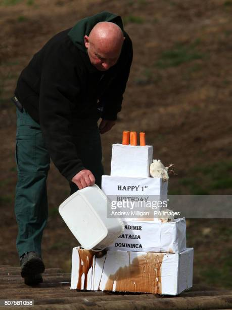 Park Keeper Robbie Rankin prepares a first birthday 'cake' filled with special treats for Amur tigers Vladimir Natalia and Domininca to celebrated...