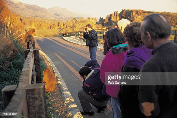 Park of the Nature of Cabarceno Cantabria Visitors of the park photograph a group of loose monkeys in the highway The Park includes a great zoo with...