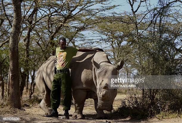 A park ranger named Mohammed stands next to a nothern white female rhinoceros named Najin at Ol Pejeta Conservancy some 290 kms north of the Kenyan...