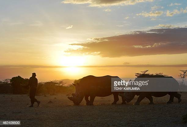 A park ranger walks ahead of a nothern white female rhinoceros named Najin and a companion southernwhite female at Ol Pejeta Conservancy some 290 kms...